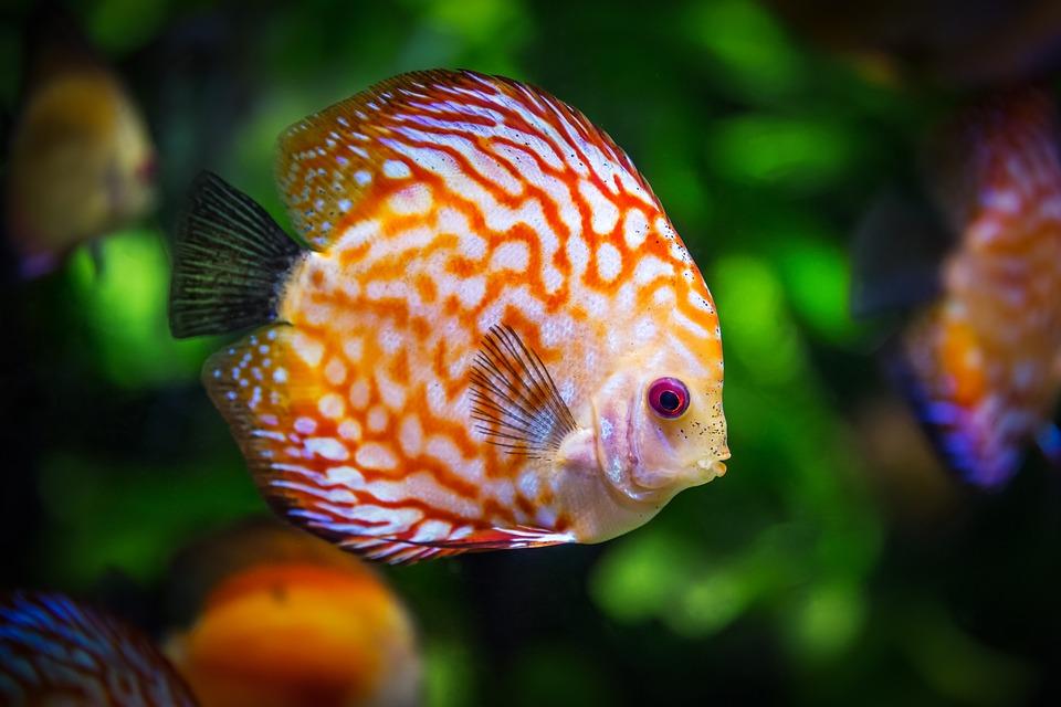 10 Ikan Hias Mahal Yang Kini Bisa Dibeli Dengan Harga Murah Simulasikredit Com